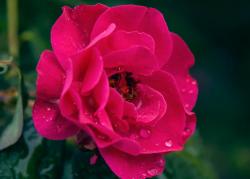 A rose has sprung up