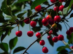 Inner fruit